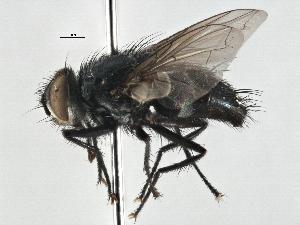 (Mycteromyiella - CNC DIPTERA 197535)  @11 [ ] CreativeCommons - Attribution Non-Commercial Share-Alike (2013) BIO Photography Group/CNC Centre for Biodiversity Genomics