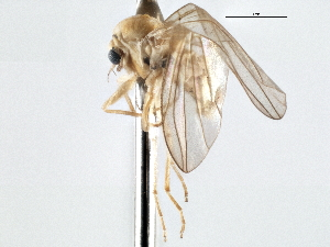 (Androprosopa elnora - CNC DIPTERA 197548)  @13 [ ] CreativeCommons - Attribution Non-Commercial Share-Alike (2013) BIO Photography Group/CNC Centre for Biodiversity Genomics