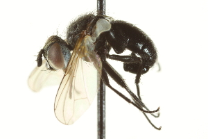 (Besseria - CNC DIPTERA 161948)  @14 [ ] CreativeCommons - Attribution Non-Commercial Share-Alike (2012) CNC/BIO Photography Group Centre for Biodiversity Genomics