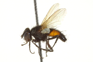 (Clairvillia - CNC DIPTERA 161992)  @13 [ ] CreativeCommons - Attribution Non-Commercial Share-Alike (2012) CNC/BIO Photography Group Centre for Biodiversity Genomics