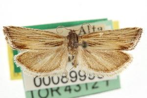 (Eucosma albertana - CNCLEP00089990)  @11 [ ] CreativeCommons - Attribution Non-Commercial Share-Alike (2013) CBG Photography Group Centre for Biodiversity Genomics