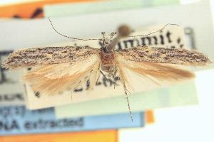 (Gnorimoschema trilobatum - CNCLEP00100840)  @11 [ ] CreativeCommons - Attribution Non-Commercial Share-Alike (2013) BIO Photography Group/CNC Centre for Biodiversity Genomics