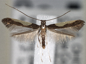 (Caloptilia belfragella - CNCLEP00101414)  @14 [ ] CreativeCommons - Attribution Non-Commercial Share-Alike (2013) BIO Photography Group/CNC Centre for Biodiversity Genomics