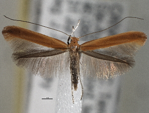 (Caloptilia betulivora - CNCLEP00101418)  @14 [ ] CreativeCommons - Attribution Non-Commercial Share-Alike (2013) BIO Photography Group/CNC Centre for Biodiversity Genomics