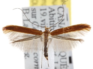(Caloptilia invariabilis - CNCLEP00101429)  @15 [ ] CreativeCommons - Attribution Non-Commercial Share-Alike (2013) BIO Photography Group/CNC Centre for Biodiversity Genomics