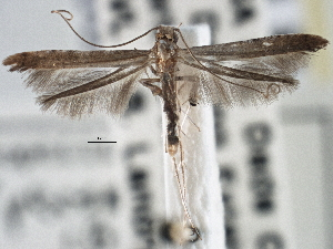 (Caloptilia perseae - CNCLEP00101432)  @14 [ ] CreativeCommons - Attribution Non-Commercial Share-Alike (2013) BIO Photography Group/CNC Centre for Biodiversity Genomics