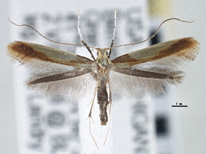 (Caloptilia superbifrontella - CNCLEP00101435)  @15 [ ] CreativeCommons - Attribution Non-Commercial Share-Alike (2013) BIO Photography Group/CNC Centre for Biodiversity Genomics
