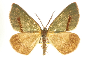 (Erastria viridirufaria - CNCLEP00102487)  @15 [ ] CreativeCommons - Attribution Non-Commercial Share-Alike (2013) CBG Photography Group Centre for Biodiversity Genomics