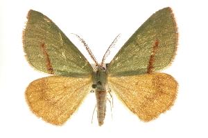 (Erastria viridirufaria - CNCLEP00102488)  @15 [ ] CreativeCommons - Attribution Non-Commercial Share-Alike (2013) CBG Photography Group Centre for Biodiversity Genomics