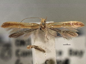 (Caloptilia flavella - CNCLEP00103116)  @13 [ ] CreativeCommons - Attribution Non-Commercial Share-Alike (2013) BIO Photography Group/CNC Centre for Biodiversity Genomics