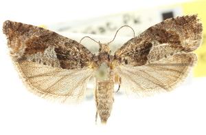 (Epinotia solandriana - CNCLEP00103307)  @15 [ ] CreativeCommons - Attribution Non-Commercial Share-Alike (2013) BIO Photography Group/CNC Centre for Biodiversity Genomics