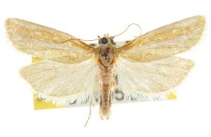 (Pelochrista fandana - CNCLEP00105245)  @15 [ ] CreativeCommons - Attribution Non-Commercial Share-Alike (2012) CBG Photography Group Centre for Biodiversity Genomics