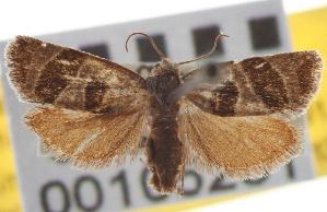 (Pelochrista graduatana - CNCLEP00105251)  @11 [ ] CreativeCommons - Attribution Non-Commercial Share-Alike (2012) CBG Photography Group Centre for Biodiversity Genomics