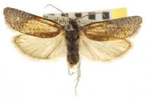 (Eucosma landana - CNCLEP00105268)  @15 [ ] CreativeCommons - Attribution Non-Commercial Share-Alike (2013) BIO Photography Group/CNC Centre for Biodiversity Genomics