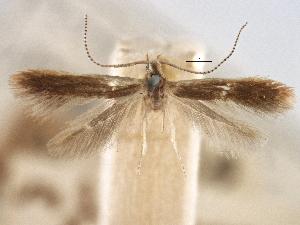 (Coleophora juglandella - CNCLEP00105957)  @11 [ ] CreativeCommons - Attribution Non-Commercial Share-Alike (2013) BIO Photography Group/CNC Centre for Biodiversity Genomics