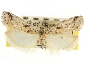 (Rostrolaetilia ardiferella - CNCLEP00107556)  @11 [ ] CreativeCommons - Attribution Non-Commercial Share-Alike (2013) CBG Photography Group Centre for Biodiversity Genomics