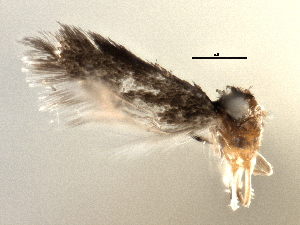 (Stigmella castaneaefoliella - CNCLEP00104514)  @11 [ ] CreativeCommons - Attribution Non-Commercial Share-Alike (2013) CBG Photography Group Centre for Biodiversity Genomics