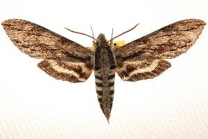 (Sphinx istar - BIOUG10886-E01)  @13 [ ] CreativeCommons - Attribution Non-Commercial Share-Alike (2014) CBG Photography Group Centre for Biodiversity Genomics