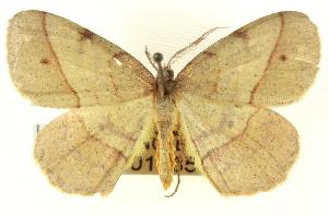 (Erastria cruentaria - CNCLEP00108504)  @15 [ ] CreativeCommons - Attribution Non-Commercial Share-Alike (2014) CBG Photography Group Centre for Biodiversity Genomics
