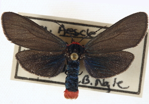 (Pygoctenucha pyrrhoura - CNCLEP00108542_rerun)  @13 [ ] CreativeCommons - Attribution Non-Commercial Share-Alike (2014) CBG Photography Group Centre for Biodiversity Genomics