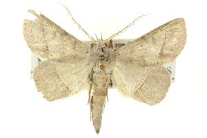 (Manbuta pyraliformis - CNCLEP00113402)  @13 [ ] CreativeCommons - Attribution Non-Commercial Share-Alike (2014) CBG Photography Group Centre for Biodiversity Genomics