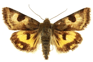(Heliothis - CNCLEP00116050)  @15 [ ] CreativeCommons - Attribution Non-Commercial Share-Alike (2014) CBG Photography Group Centre for Biodiversity Genomics