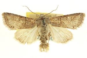 (Lacinipolia prognata - CNCLEP00116096)  @15 [ ] CreativeCommons - Attribution Non-Commercial Share-Alike (2014) CBG Photography Group Centre for Biodiversity Genomics