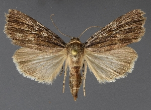 ( - DLWC011179)  @11 [ ] CreativeCommons – Attribution (by) (2019) David Wikle Canadian National Collection of Insects and Nematodes