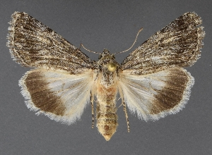 ( - DLWC011437)  @11 [ ] CreativeCommons – Attribution (by) (2019) David Wikle Canadian National Collection of Insects and Nematodes