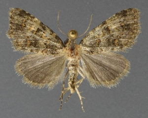 ( - DLWC011548)  @11 [ ] CreativeCommons – Attribution (by) (2019) David Wikle Canadian National Collection of Insects and Nematodes