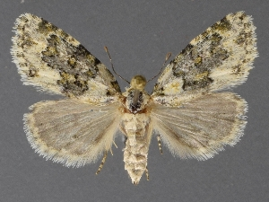 ( - DLWC011550)  @11 [ ] CreativeCommons – Attribution (by) (2019) David Wikle Canadian National Collection of Insects and Nematodes
