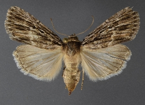 ( - DLWC011663)  @11 [ ] CreativeCommons – Attribution (by) (2019) David Wikle Canadian National Collection of Insects and Nematodes