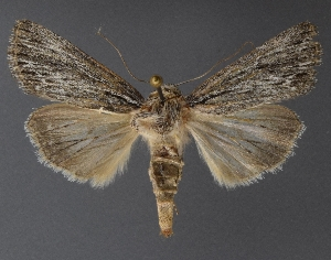 ( - DLWC011700)  @11 [ ] CreativeCommons – Attribution (by) (2019) David Wikle Canadian National Collection of Insects and Nematodes