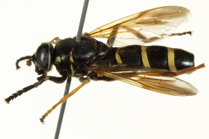 ( - CNC DIPTERA 162886)  @13 [ ] CreativeCommons - Attribution Non-Commercial Share-Alike (2012) CNC/BIO Photography Group Centre for Biodiversity Genomics