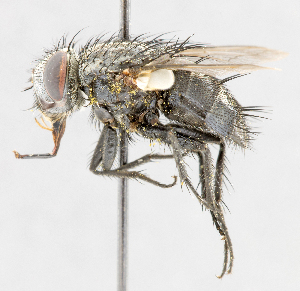 (Chaetocraniopsis - CNC487625)  @11 [ ] No Rights Reserved (2016) Unspecified Canadian National Collection of Insects, Arachnids and Nematodes
