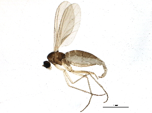 (Corynoptera spoeckeri - BIOUG10409-H06)  @14 [ ] CC-0 (2014) CBG Photography Group Centre for Biodiversity Genomics