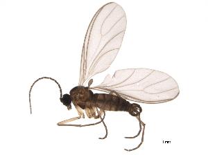 (Bradysia browni - BIOUG04096-G11)  @14 [ ] CC-0 (2013) CBG Photography Group Centre for Biodiversity Genomics