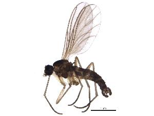 (Pseudolycoriella brunnea - BIOUG11561-A06)  @15 [ ] CC-0 (2014) CBG Photography Group Centre for Biodiversity Genomics