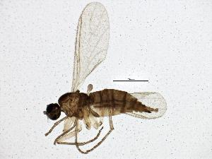 (Corynoptera cursor - BIOUG02981-F02)  @14 [ ] CC-0 (2013) CBG Photography Group Centre for Biodiversity Genomics