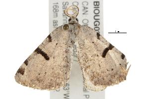 (Speranza subcessaria - BIOUG03216-E05)  @14 [ ] CC-0 (2012) CBG Photography Group Centre for Biodiversity Genomics