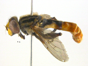 (Anasimyia - BIOUG03374-E04)  @15 [ ] CC-0 (2013) CBG Photography Group Centre for Biodiversity Genomics