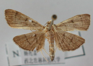 (Omiodes indistincta - NAFU Pyr000119)  @14 [ ] Copyright (2010) Zhaofu Yang Northwest Agriculture and Forest University