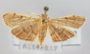 (Omiodes indicata - NAFU Pyr000152)  @15 [ ] Copyright (2010) Zhaofu Yang Northwest Agriculture and Forest University