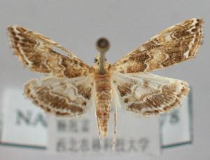 (Elophila turbata - NAFU Pyr000178)  @14 [ ] Copyright (2010) Zhaofu Yang Northwest Agriculture and Forest University