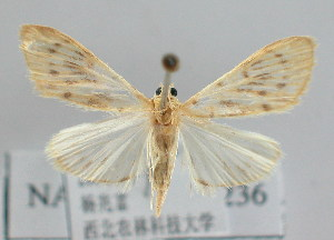 (Tabidia strigiferalis - NAFU Pyr000236)  @15 [ ] Copyright (2010) Zhaofu Yang Northwest Agriculture and Forest University