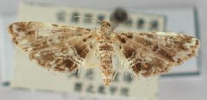 (Elophila manilensis - NAFU Pyr000696)  @11 [ ] Copyright (2010) Zhaofu Yang Northwest Agriculture and Forest University
