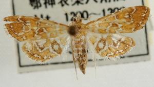 (Elophila fengwhanalis - Pyr001817)  @11 [ ] Copyright (2010) Zhaofu Yang Northwest Agriculture and Forest University