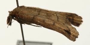 (Cataprosopus - Pyr001897)  @11 [ ] Copyright (2010) Zhaofu Yang Northwest Agriculture and Forest University