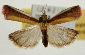 (Oncocera semirubella - Pyr001979)  @14 [ ] Copyright (2010) Zhaofu Yang Northwest Agriculture and Forest University