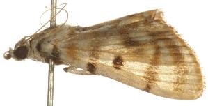 (Orthospila tigrina - Pyr000110)  @14 [ ] Copyright (2010) Zhaofu Yang Northwest Agriculture and Forest University